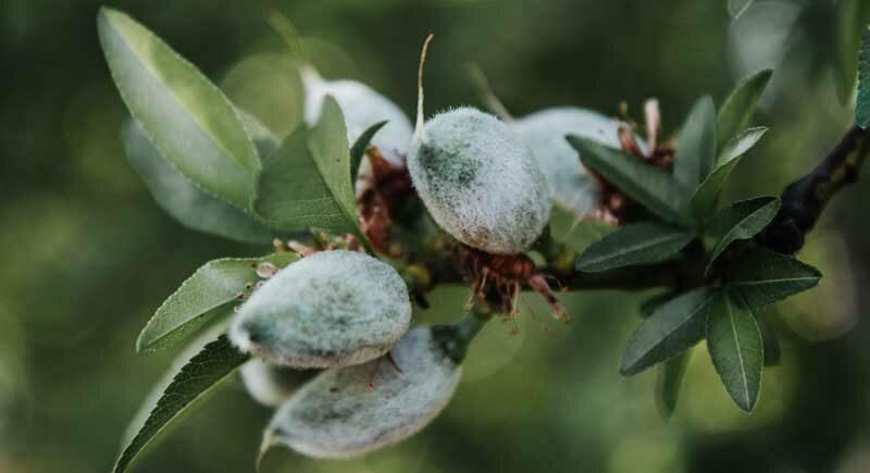 Venta de capota verde de almendra en Castilla La Mancha